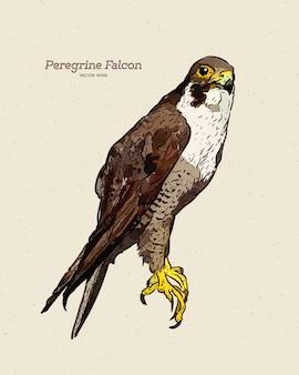 Antica incisione disegno illustrazione del falco pellegrino