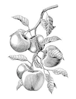 Isolato d'annata dell'illustrazione dell'incisione del disegno della mano del ramo di mele su fondo bianco