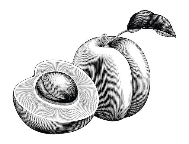 Annata di tiraggio della mano della raccolta dell'albicocca isolata su fondo bianco