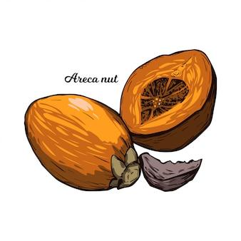 Noce di betel dell'areca isolata. seme di palma areca catechu, noce di betel da masticare. pianta indiana, erbe asiatiche o frutta. masticare tabacco, effetti nocivi sulla salute e noce cancerogena.