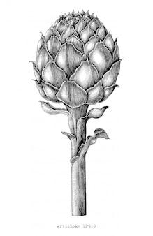 Mano botanica del carciofo che disegna stile d'annata dell'incisione su fondo bianco
