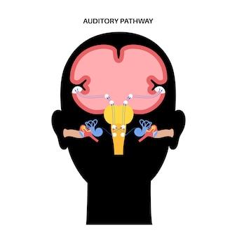 Percorso uditivo dai recettori nell'organo corticale dell'orecchio interno al vettore cerebrale