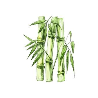 Alberi di bambù con foglia. cova dell'annata di vettore. isolato su bianco