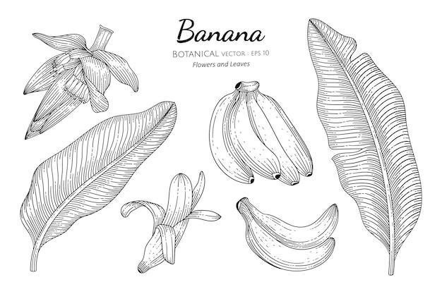 Illustrazione botanica disegnata a mano di frutta e foglia di banana con disegni al tratto su sfondi bianchi.