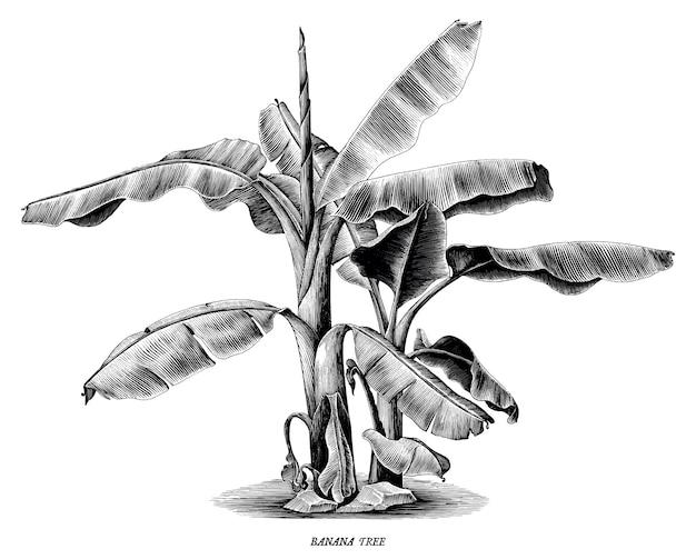 Incisione d'annata di tiraggio della mano del banano isolata su fondo bianco