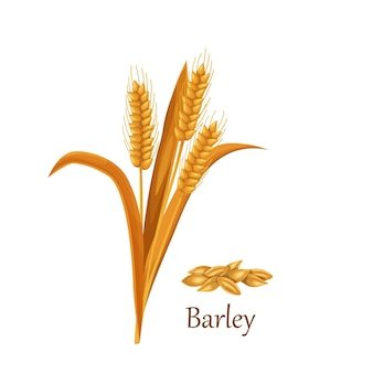 Colture di cereali erba d'orzo, mucchio di semi di chicchi d'orzo.