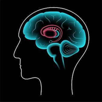 Gangli della base e sistema limbico. anatomia del cervello umano. corteccia cerebrale e vettore del cervelletto