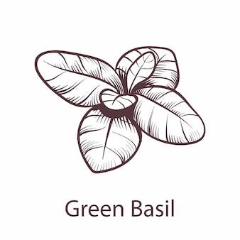 Icona di basilico. schizzo disegnato a mano botanico per etichette e pacchetti menu ristorante o bar in stile incisione, simbolo di cucina, elemento vettoriale isolato