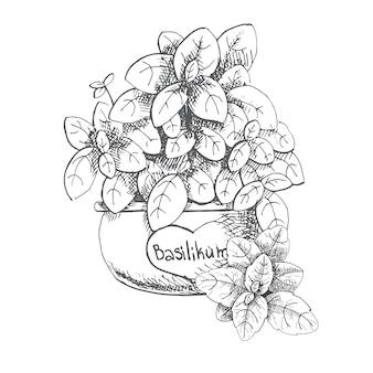 Basilico in una pentola