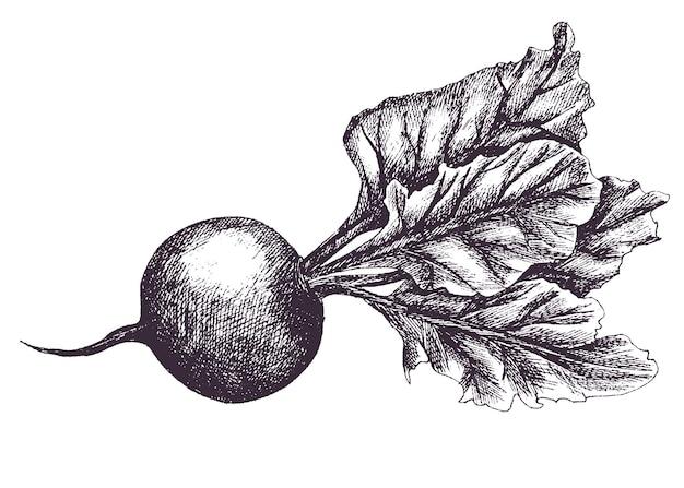 Barbabietola. illustrazione di contanti. disegno a mano