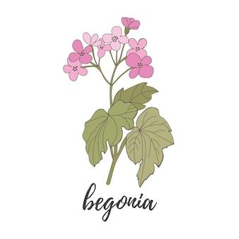 Fiore di begonia su uno sfondo bianco file vettoriale di begonia in fiore rosa