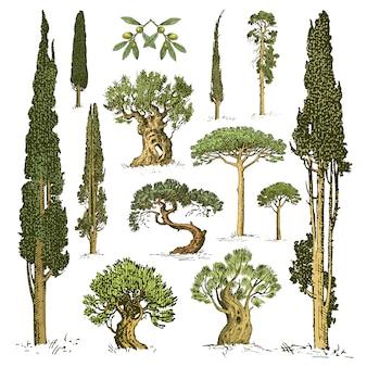 La grande serie di alberi incisi e disegnati a mano include pino, ulivo e cipresso, oggetto isolato foresta di abeti.