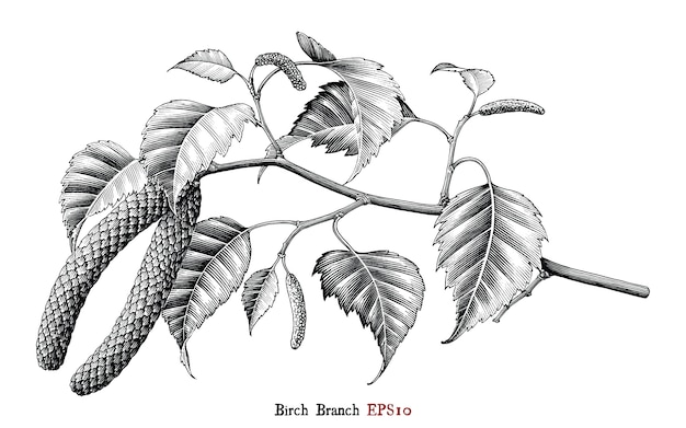 Ramo di betulla mano disegno stile vintage in bianco e nero, isolato.