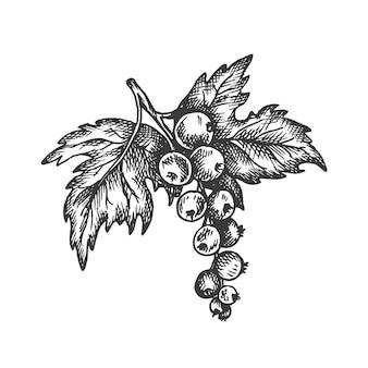 Illustrazione disegnata a mano di ribes nero.