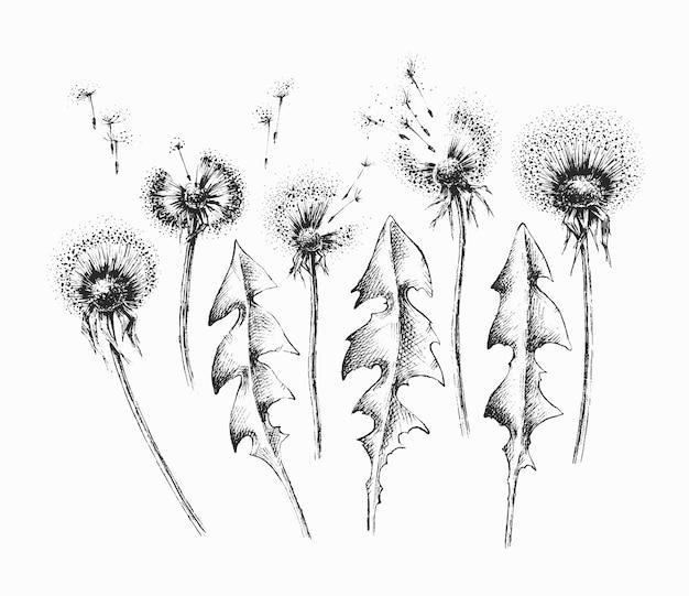 Set di fiori e foglie di tarassaco isolato nero, pacchetto di elementi floreali disegnati a mano.