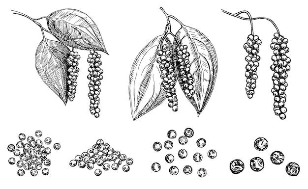 Disegno vettoriale di ramo di pianta di pepe nero pepper peas illustrazione botanica disegnato a mano vintage