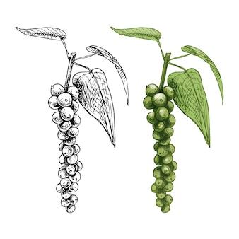 Pianta di pepe nero con foglie e grani di pepe. illustrazione di colore di tratteggio dell'annata di vettore. isolato su sfondo bianco. disegno disegnato a mano