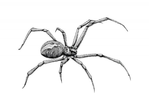 Disegno a mano ragno vedova nera