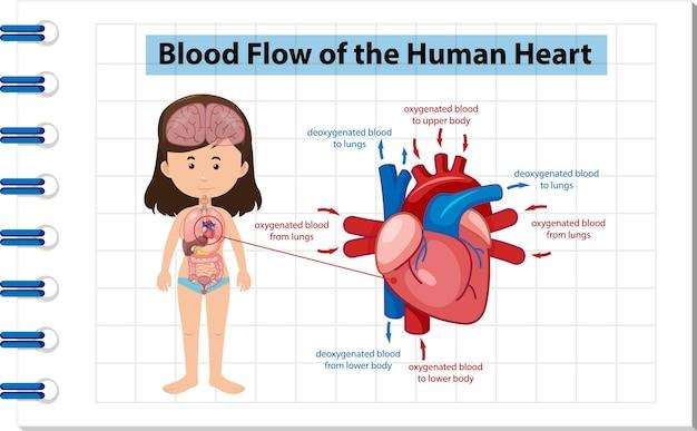 Flusso sanguigno del diagramma del cuore umano
