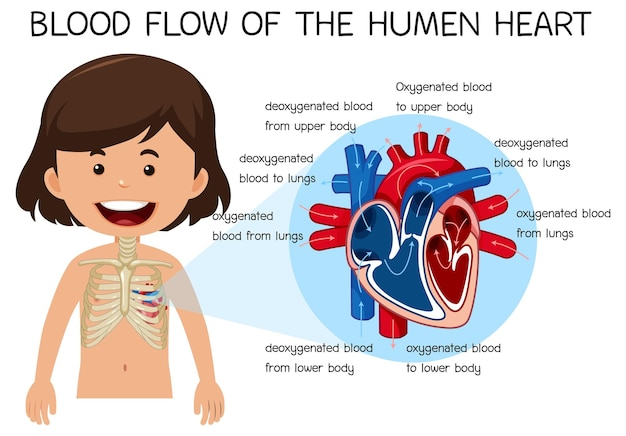 Flusso sanguigno del cuore umano