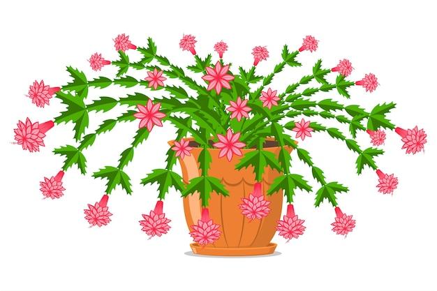 Fioritura di cactus di natale in una pentola