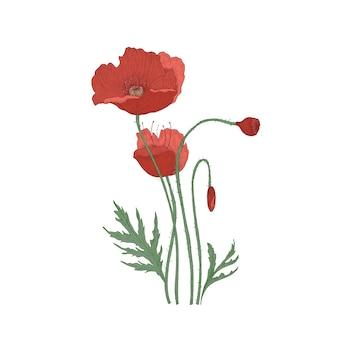 Fioritura di fiori di papavero e boccioli disegnati a mano su sfondo bianco