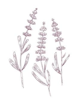 Disegno botanico di fiori di lavanda e foglie disegnati a mano con linee di contorno su sfondo bianco