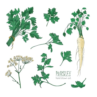 Disegno botanico di foglie, fiori o infiorescenze e radici di prezzemolo. pianta utilizzata in cucina come spezia o condimento isolato su sfondo bianco. illustrazione vettoriale disegnato a mano colorato realistico.