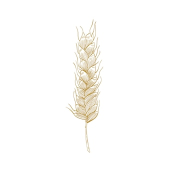 Disegno botanico di spiga di grano o spighetta con semi isolati su bianco. pianta coltivata, cereale o coltura alimentare