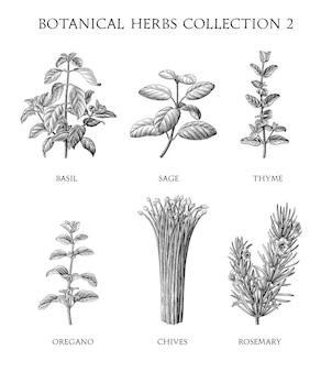 Collezione di erbe botaniche in stile incisione a mano