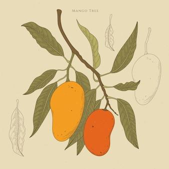 Illustrazione botanica dell'albero di mango