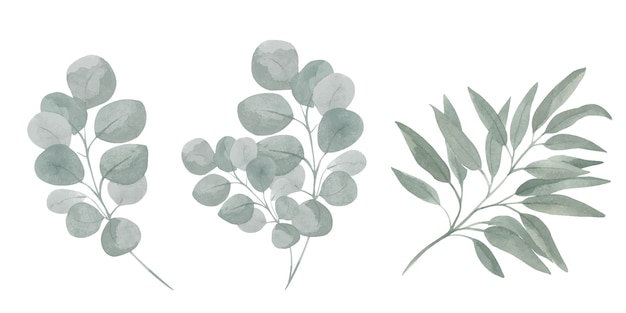 Insieme botanico di illustrazioni di rami di eucalipto. fogliame verde