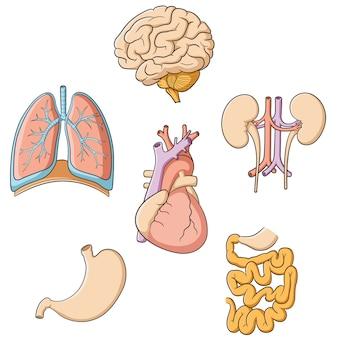 Intestino di stomaco di reni cuore cuore polmoni Vettore Premium
