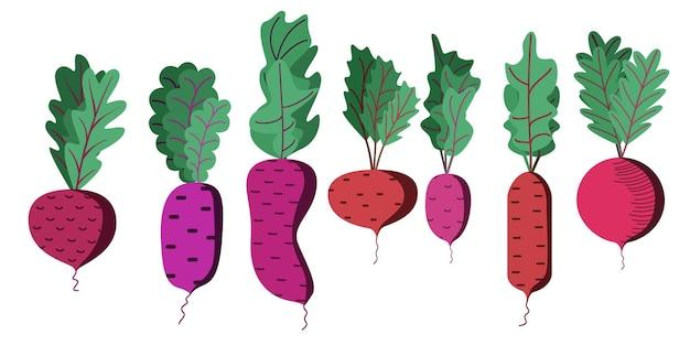 Un brillante set vettoriale di barbabietole colorate con cime una verdura fresca dei cartoni animati