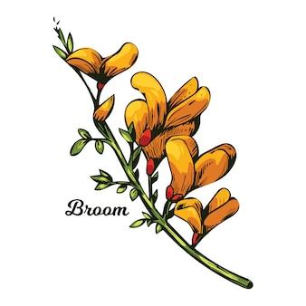 Fiore di ginestra, tintinnio di bosco, erbaccia e lamento, furze, ginestra verde, alga verde, cera di legno di fiori gialli che sbocciano. genista tinctoria, lupino ginestrone e laburno.