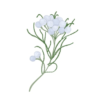 Brunia fiori che sbocciano o infiorescenze isolati su sfondo bianco.