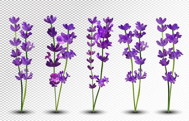 Mazzo di bellissimi fiori viola. lavanda isolato su uno spazio trasparente. mazzo profumato di lavanda. Vettore Premium