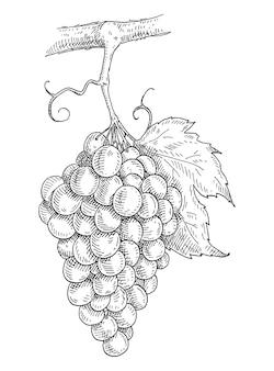 Grappolo d'uva con bacche e foglie. illustrazione monocromatica grigia di tratteggio di vettore dell'annata. isolato su sfondo bianco. disegno disegnato a mano
