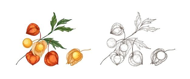 Pacchetto di eleganti disegni colorati e monocromatici di physalis, cape gooseberry o goldenberry