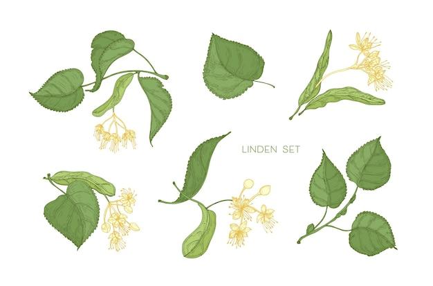 Fascio di eleganti disegni botanici dettagliati di foglie verdi di tiglio e fiori gialli in fiore. parti disegnate a mano dell'albero in fiore, pianta medicinale. illustrazione realistica floreale in stile vintage.