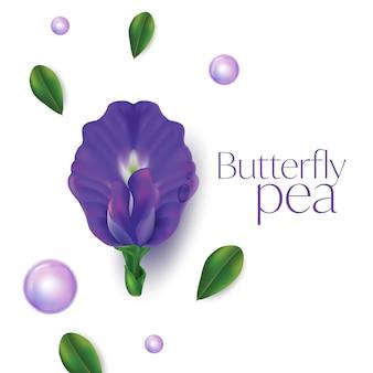 Fiore di pisello farfalla isolato