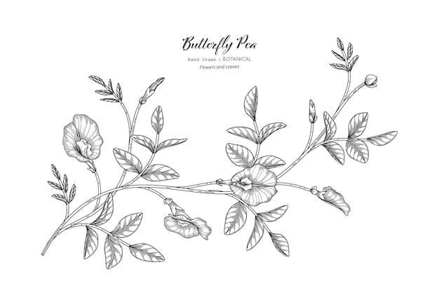 Illustrazione botanica disegnata a mano del fiore e della foglia dei piselli di farfalla con la linea art.