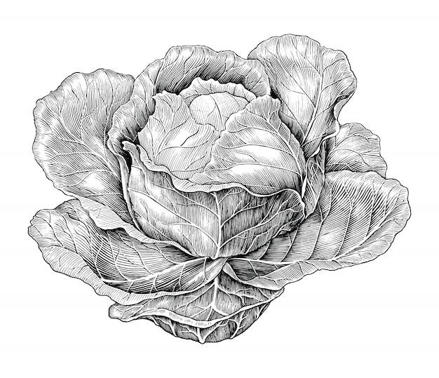 Illustrazione d'annata dell'incisione del disegno della mano del cavolo