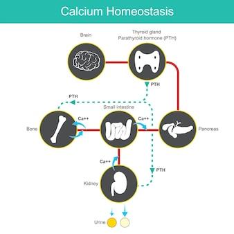 Omeostasi del calcio. diagramma per l'apprendimento dei livelli di calcio nel sangue umano. illustrazione vettoriale.