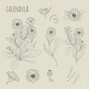 Illustrazione isolata botanica medica della calendula. pianta, fiori, petali, foglie, set di semi disegnati a mano. schizzo di contorno vintage