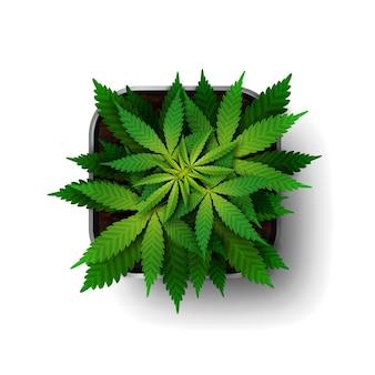 La pianta di cannabis nella fase di crescita cresce in un vaso quadrato Vettore Premium
