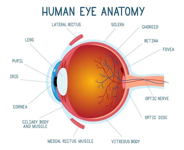 Schema di anatomia dell'occhio del fumetto. illustrazione della sfera dell'occhio umano