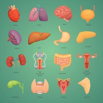 Insieme di organi umani del fumetto. anatomia del corpo. sistema riproduttivo, cuore, polmoni, illustrazioni del cervello.