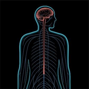 Illustrazione realistica di vettore del sistema nervoso centrale 3d. i nervi inviano segnali elettrici da e verso il cervello e il midollo spinale nel corpo maschile. snc e concetto di snp. poster medico a raggi x per clinica neurologica.