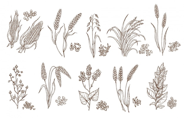 Grano della pianta del cereale e schizzi isolati seme